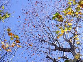 すずかけの木の実.jpg