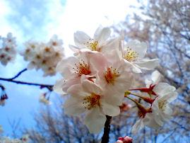 桜.jpg