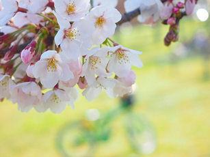 桜2012年.jpg