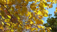 黄色い葉.jpg